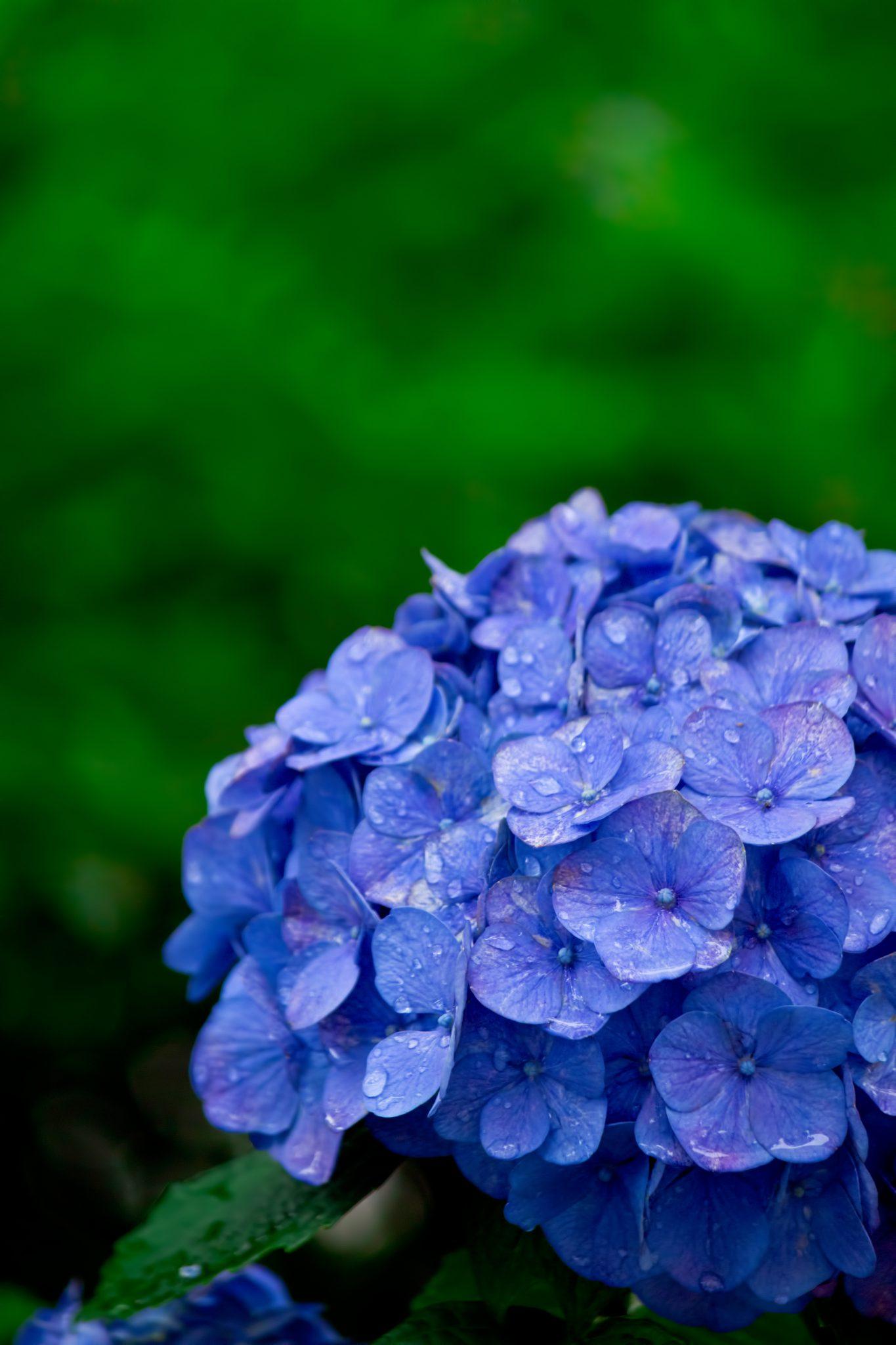 紫陽花(あじさい)好きですか?